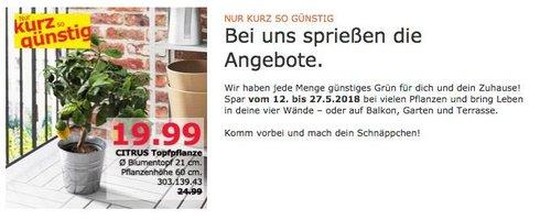 IKEA CITRUS Topfpflanze 60 cm - jetzt 20% billiger