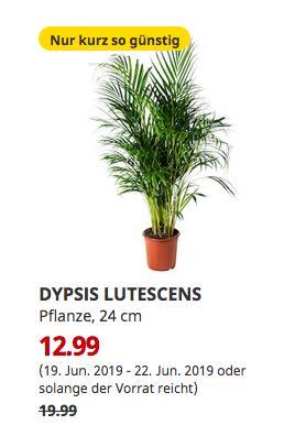 IKEA Essen - DYPSIS LUTESCENS Pflanze, Goldfruchtpalme, 24 cm - jetzt 35% billiger